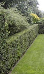 Une haie d\'if comme cloture jardin | Prix - Entretien & Info